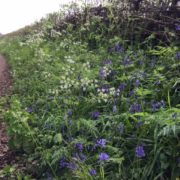 bluebells in the lane